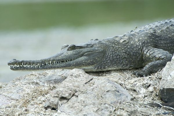 Freshwater Crocodile - Lake Argyle
